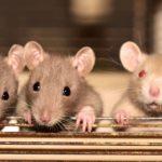 [ちょっと現実感ありすぎ] 自宅のネズミを駆除した、かしこい方法は!?